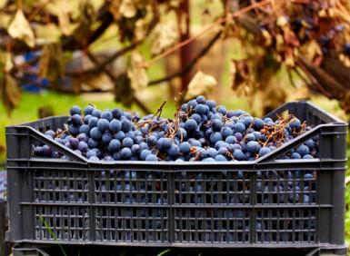 Камера для винограда